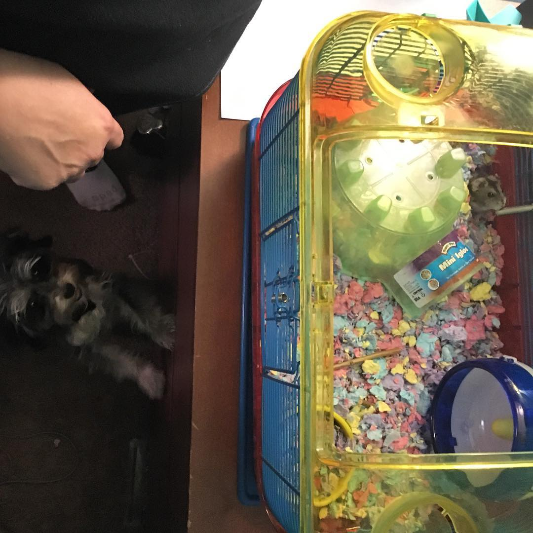 Twinkle really wants to get to our hamster
